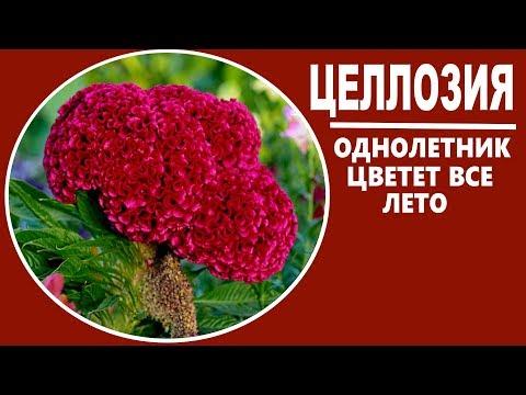 Целлозия выращивание. Неприхотливые цветы для сада.