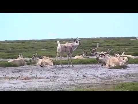 Voices of the Caribou People - 1/4