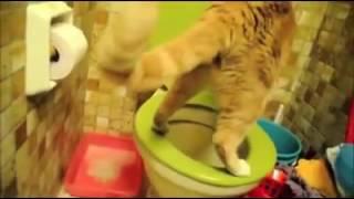 Кот пьёт воду из туалета