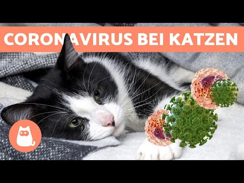 FELINES CORONAVIRUS - Kann Es Auf Den Menschen übertragen Werden?