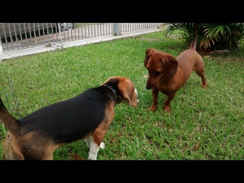 Belle The Beagle vs Lola The Dachshund