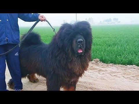 Lion head tibetan mastiff dog | +919417730301 | #hkktm #tibetanmastiff