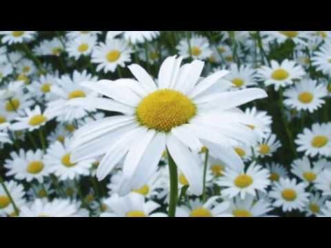 Картинка ромашки цветы