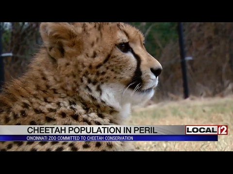 Cheetah population in peril, Cincinnati Zoo committed to conservation