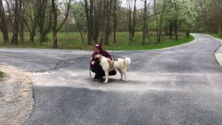 Dog Training: The Akita, Poe- Before/After Two Week Board and Train!
