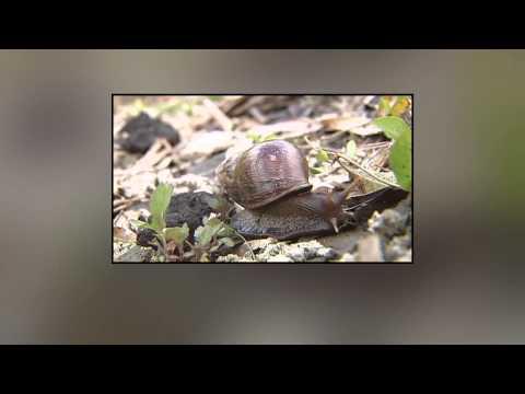 Rat Lungworm Disease in Hawaii Concerns Renewed