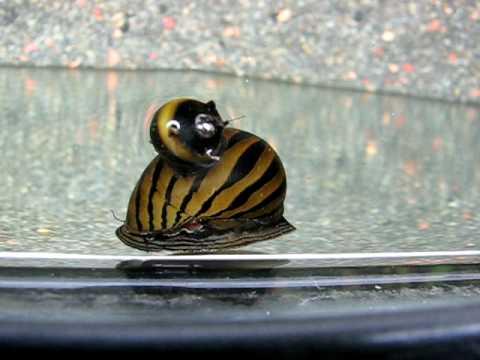 clithon corona and zebra nerite snail