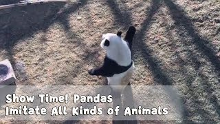 Show Time! Pandas Imitate All Kinds Of Animals | iPanda