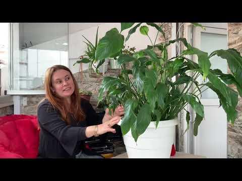 Barış Çiçeklerinde Buna Çok Dikkat Edin ( Peace Lily (Spathiphyllum) Barış Çiçeği Bakımı Çoğaltma