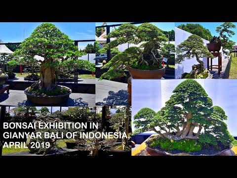 PAMERAN DAN KONTES BONSAI ( BONSAI EXHIBITION IN GIANYAR BALI 2019 ) HD, bonsai juara dan mahal
