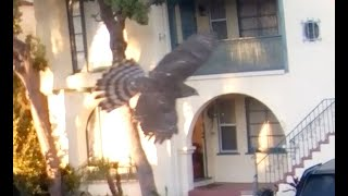 Hawk flies past, compare normal speed to slow motion