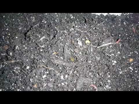 Первый запуск коконов червя дендробены - YouTube