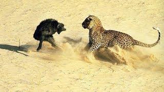 Самые опасные животные Африки! Лучше не попадаться им!