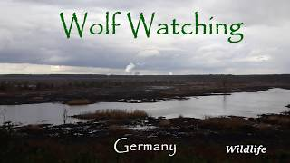 Wildlife watching: Wolf watching in Germany [2019]