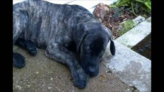 Crazy Lil' Jak Our English Mastiff Puppy