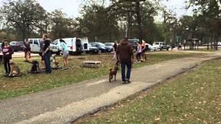 Labradoodle Off Leash 15 Day Dog Training | Sitmeanssithouston.com
