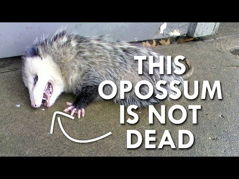 Is this Opossum Dead?