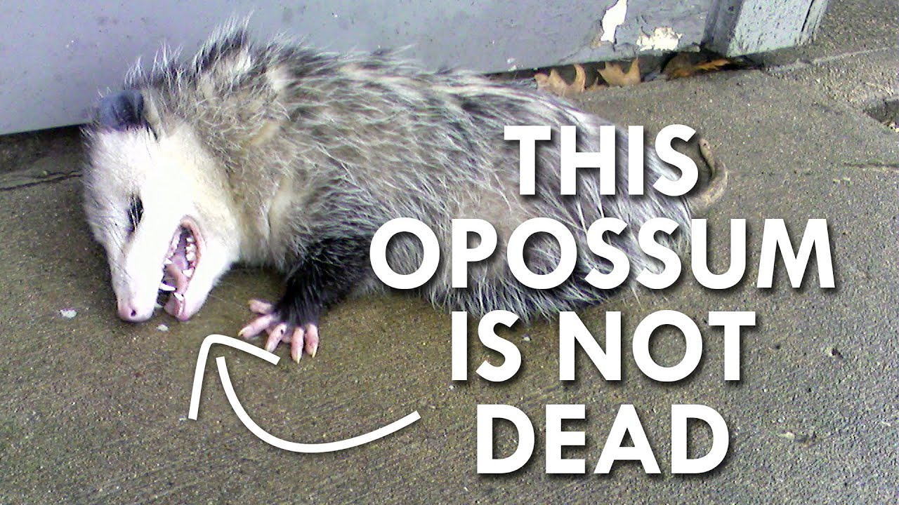 maxresdefault is this opossum dead? youtube
