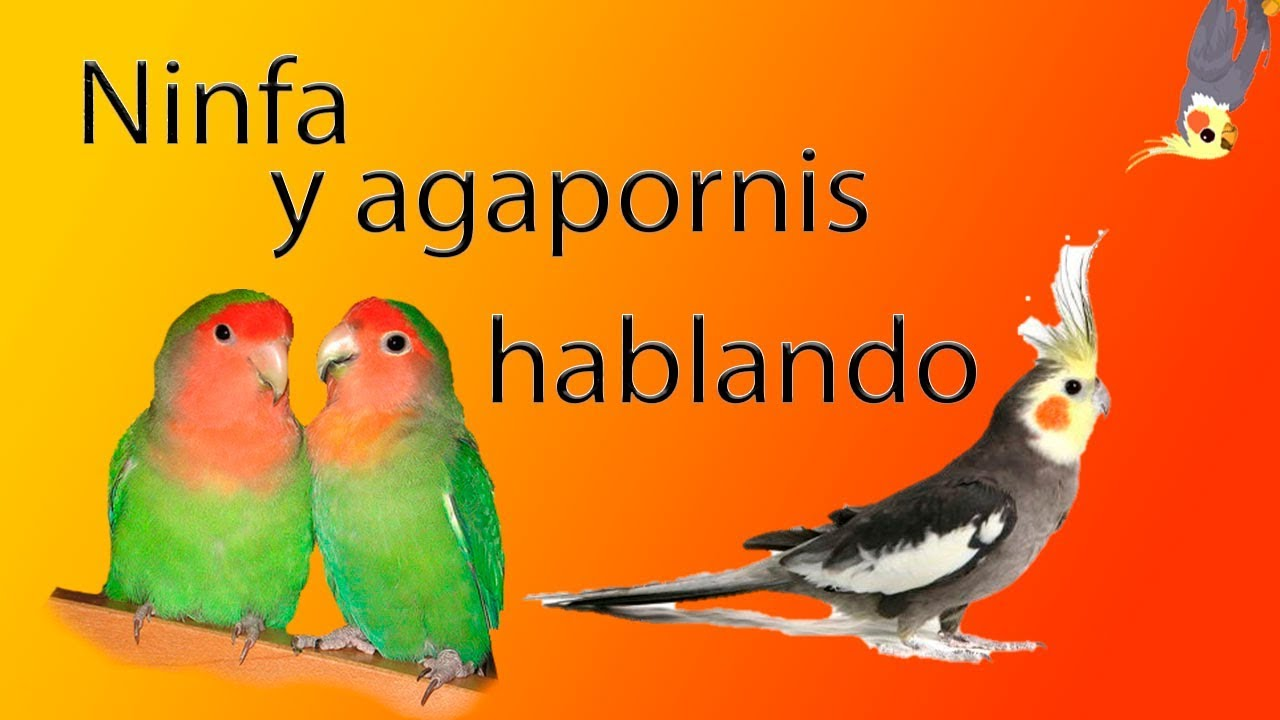 NINFA Y AGAPORNIS HABLANDO