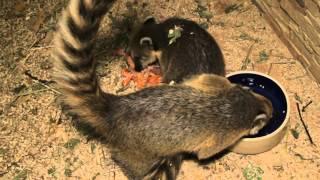 Все О Домашних Животных: Коати - Кузены Енотов(, 2012-10-24T09:17:51.000Z)
