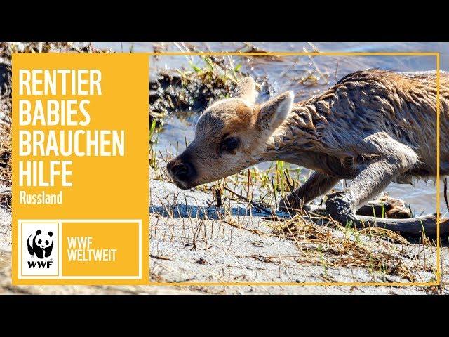 Russland: Rentierkinder brauchen unsere Hilfe! | WWF weltweit | WWF Deutschland