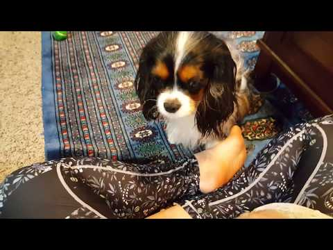 Such a gentle breed - Cavalier King Charles Spaniel