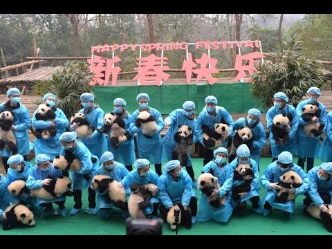 Как сделать групповую фотографию с 23 пандами? / 23 baby pandas