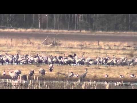 Tranor vid Pulken 26 mars 2016 formiddag / Pulken cranes