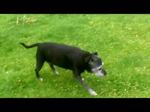 Mallie Staffordshire Bull Terrier SUPERSTAR, pensioner.