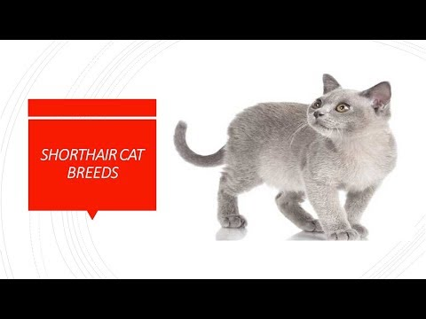 Best Shorthair Cat Breeds