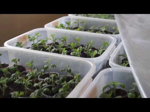 Весеннее черенкование хризантемы. Часть 2.