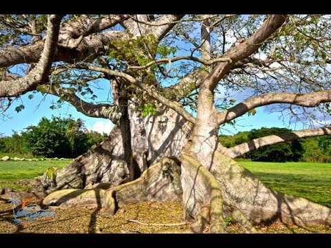 Vieques' 400-year-old Ceiba tree blooms again after Hurricanes Irma and Maria