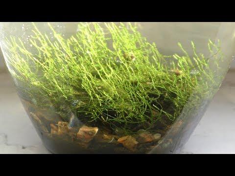 Growing Terrestrial Moss In Aquarium