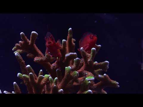 Forest Fire Digitata - SPS Deep Dive