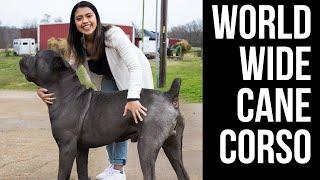 AMAZING CANE CORSO BREEDER! Visiting Worldwide Cane Corso.