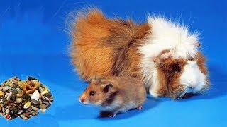 Funny Hamster vs Guinea Pigs for food- Cute Hamster videos