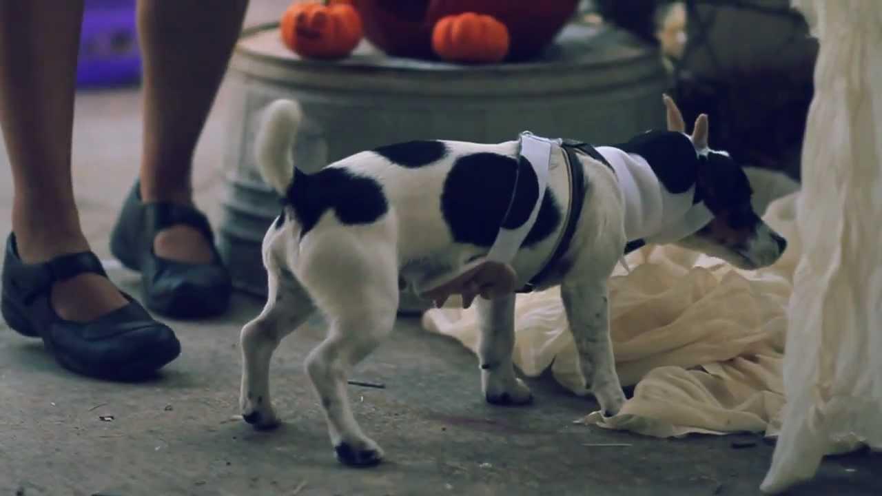 Jack Russell Terrier Wigs