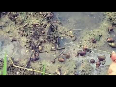 mancing belut raksasa di lubang kecil