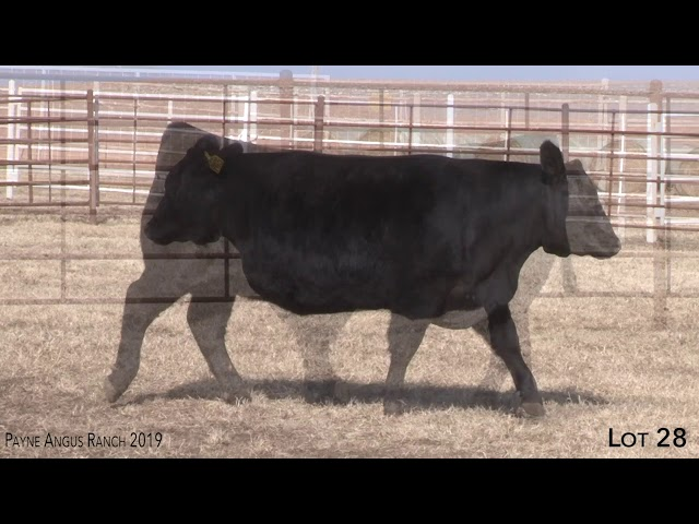 Payne Angus Ranch Lot 28