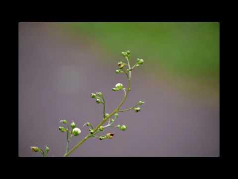 Scrophularia nodosa