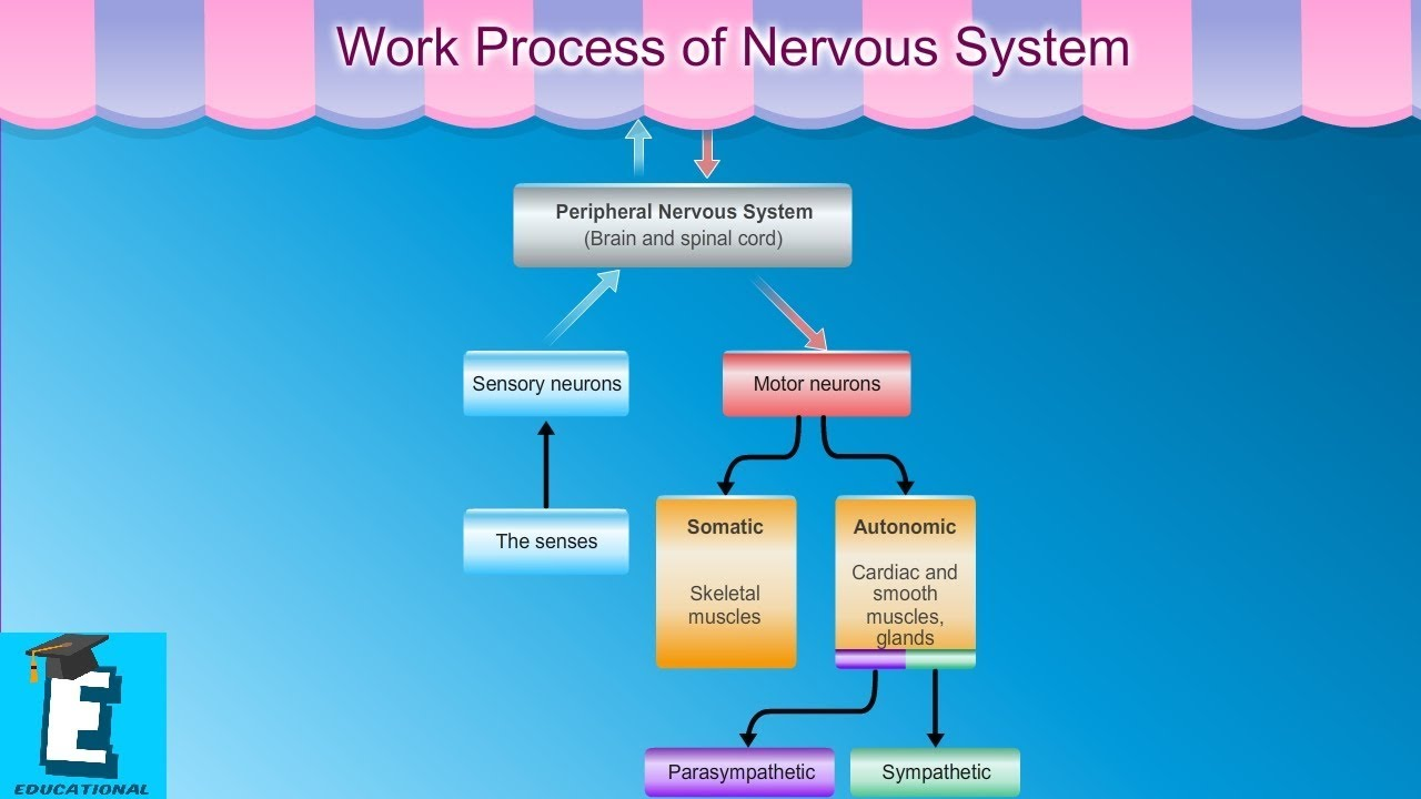 Work Process Of Nervous System Learn For Children And Kids Edukid