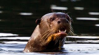 Saving Giant Otters in Peru