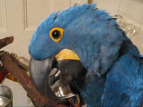 Scooby the hyacinth macaw talking