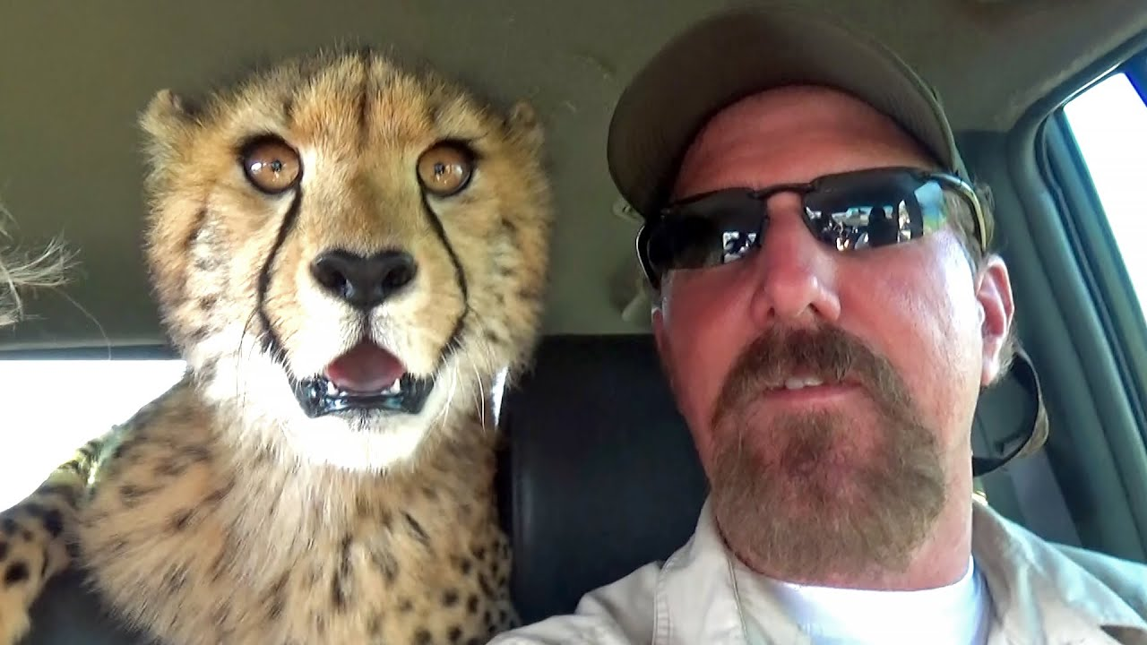 Hunting Wabbits | Cheetah Cubs Train & Hunt Off Lead For Rabbits Hares On Open Range Game Farm