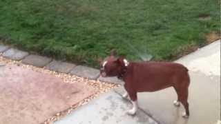 Our red Boston Terrier loves to play in the sprinklers.