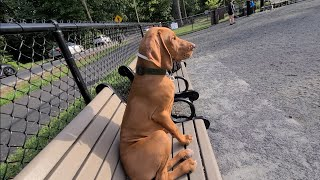 Vizsla Puppy First Time At Dog Park.