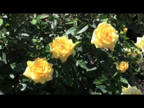 The Krasberg Rose Garden