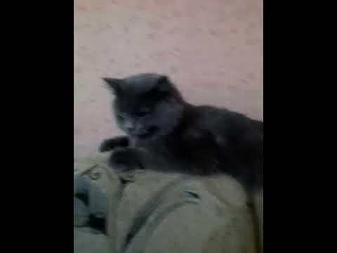 Шотландская вислоухая серебристо-черная мраморная кошечка - YouTube