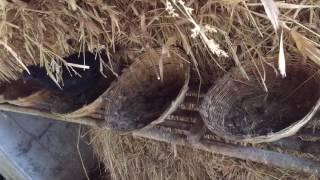 Kadaknath hens at Pune goat farms (kadaknath komdi)