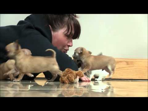Chihuahua Puppies 9th April 2016